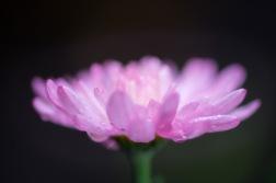 Flower-37